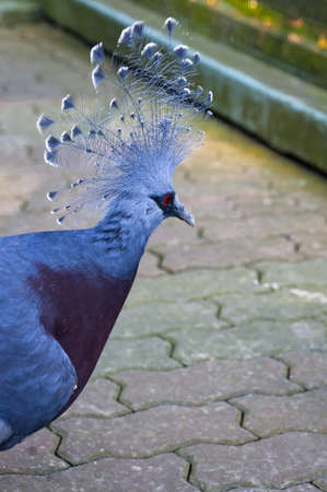 phylum: Victoria Crowned Pigeon (Goura Victoria) with blue plumage, a blue and white crest and a strikingly bright red eye