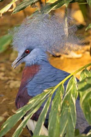 phylum: Sheepmakers Crowned Pigeon with blue plumage, a blue and white crest and a strikingly bright red eye