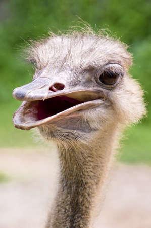 emu bird: Extreme close up of a curious looking ostrich
