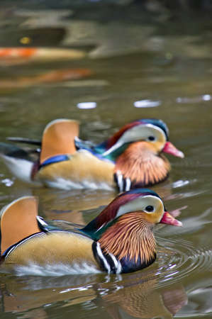 rare animal: A pair of mandarin ducks swimming in the pond Stock Photo