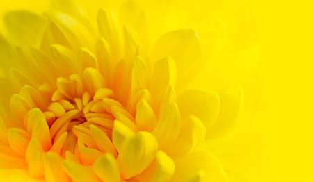 Marco erschossen einer gelben Chrysanthemen mit gelbem Hintergrund Standard-Bild - 11963219