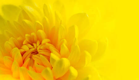 Marco shot of a yellow chrysanthemum with yellow background Stock Photo - 11963219