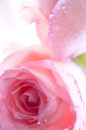 Close up of two pink roses with water droplets