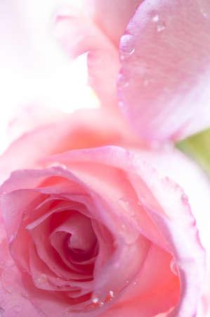 Close up von zwei rosa Rosen mit Wassertropfen Standard-Bild