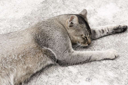 calico whiskers: Short Grey hair cat resting on the street   Stock Photo