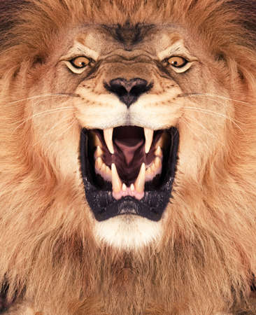 angry lion: Direct frontal shot of a Lion roaring  Stock Photo