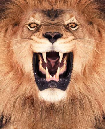 of lions: Tiro directo frontal de un rugiente le�n Foto de archivo