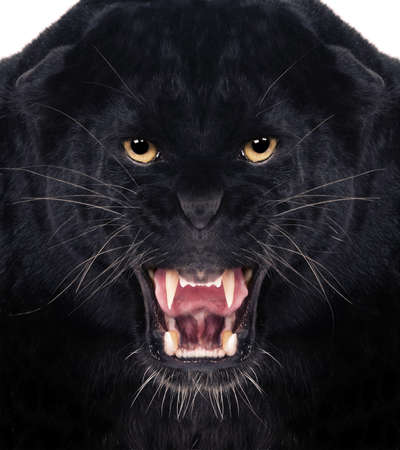 Direct frontal shot of a Black Leopard snarling with isolated background, photo
