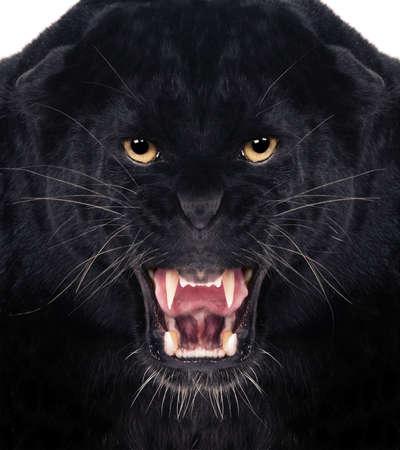 jaguar: Tiro directo frontal de un Leopardo Negro gruñendo con fondo blanco, Foto de archivo