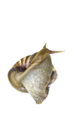 land shell: Giant African Land Snail looking to the back with isolated background Stock Photo