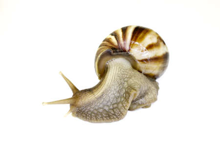 land shell: Giant African Land Snail looking to the left ready to race off with isolated background
