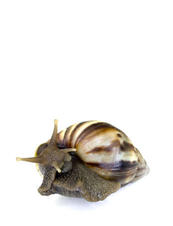 animal vein: Giant African Land Snail in a cute cuddly position with isolated background