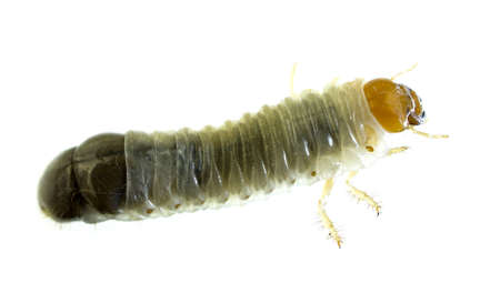 Side view of a June Bug larvae with isolated background Stock Photo - 13261598