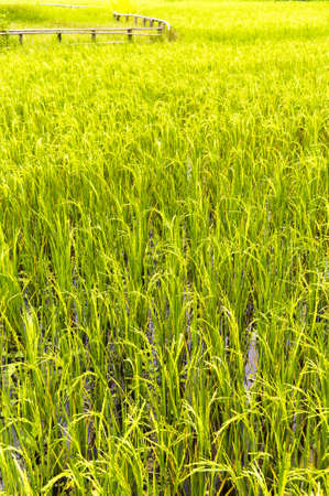 Vertical shot of a Paddy Field with a wooden fence photo
