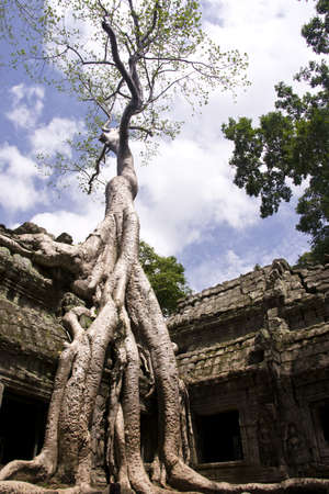 Giant Silk Cotton Tree in Ta Prohm photo