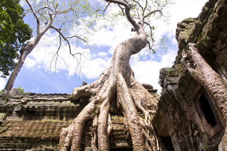 Giant Silk Cotton Tree of Ta Prohm on top of a roof.