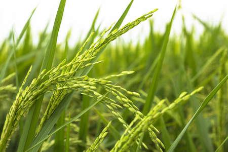 Close up of yellow paddy rice field