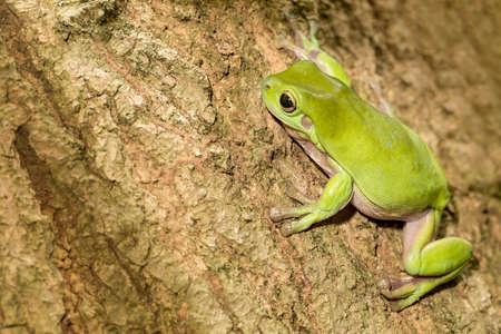 Australian Green Tree Frog auf einem Baum. Lizenzfreie Bilder