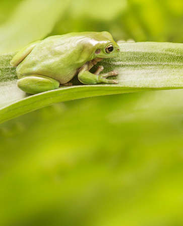 Australian Green Tree Frog on a leaf with copyspace.