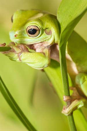 Australian Green Tree Frog auf ein Blatt Lizenzfreie Bilder