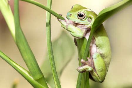 green tree frog: Australian Green Tree Frog on a leaf.