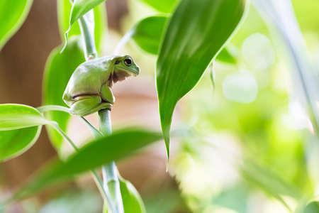 Australian Green Tree Frog auf einer Anlage. Lizenzfreie Bilder