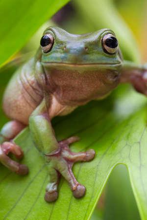 Australian Green Tree Frog auf einem Blatt. Lizenzfreie Bilder