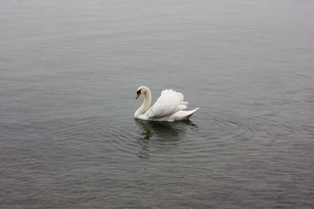melodrama: Lonely white swan floating in the cold lake