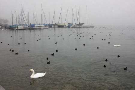 melodrama: Lonely white swan and much black ducks floating in the cold lake