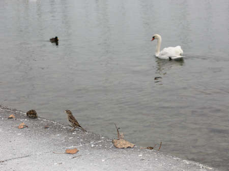 melodrama: sparrow sitting on the ground, and a swan - floats on water