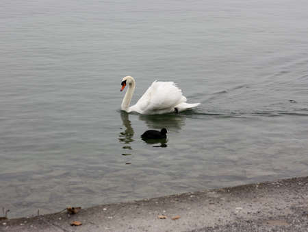 melodrama: Lonely white swan landing to the cold lake