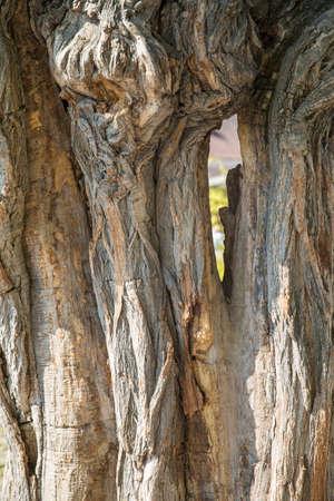Thick tree trunk closeup. Wood texture close-up. Stock Photo