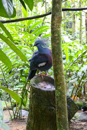 Blue pigeon sitting on a wooden stump in the forest. Archivio Fotografico