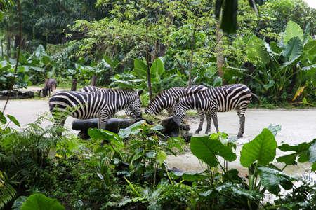 equid: Zebra eating grass in Savannah summer day.