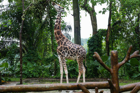 A giraffe nibbling leaves from the trees. Giraffe with a long neck eating tree leafs Stock Photo