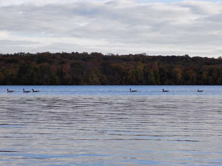 canadian geese: Canadian Geese Swimming on Lake