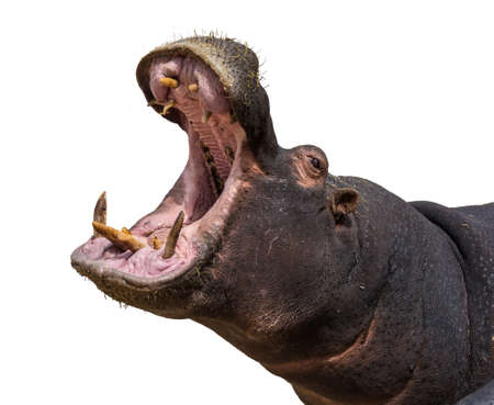 pachyderm: Hippo opening jaws. Head closeup. White background