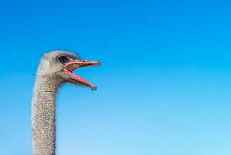 African ostrich yells. head closeup. space for text