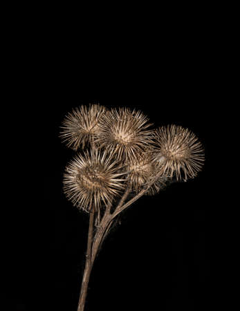 dry brown burdock with web threads on black background Stockfoto