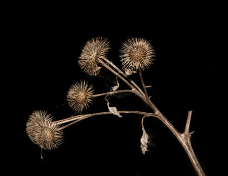 dry brown branch burdock with threads of cobweb on a black background