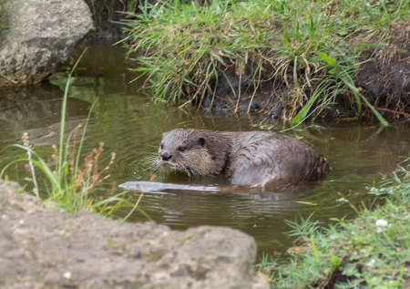 Aonyx or Ambionyx cinereus Small-Clawed Otter in pond with a rocky shore Stock Photo