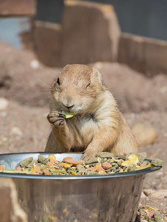 Prairie dog Cynomys ludovicianus eating a meal from a big bowl and winks