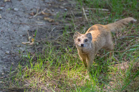 Yellow mongoose Cynictis penicillata or red meerkat in the meadow 免版税图像