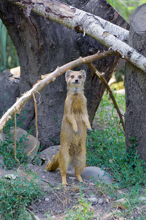 Yellow mongoose Cynictis penicillata is standing on hind legs