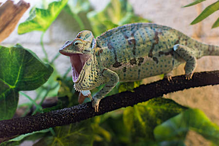 chameleon on a branch in the terrarium