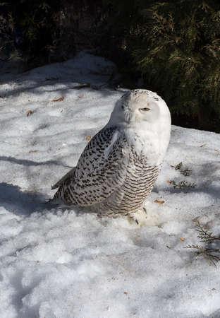 Snowy owl, Nyctea scandiaca, Bubo scandiacus on the snow