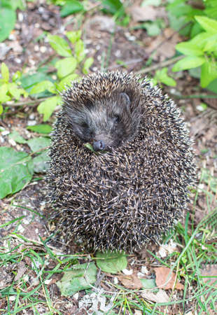 Rolled-Up Hedgehog In the green grass