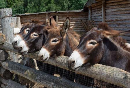 Four donkeys behind a wooden fence. Muzzles of donkeys close-up. Banco de Imagens