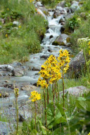 Yellow flowers Ligularia on the banks of a mountain stream
