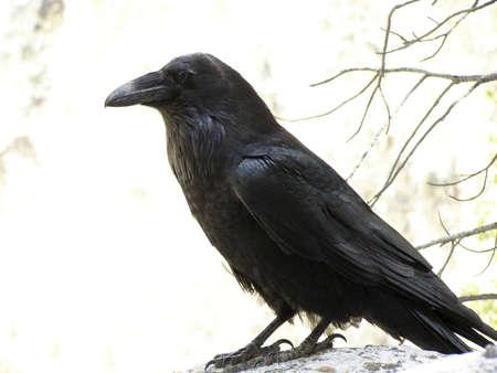 corax: Corvo comune (Corvus corax)